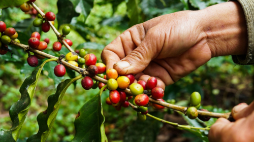 Heifer International and IBM work with coffee and cocoa farmers in Honduras